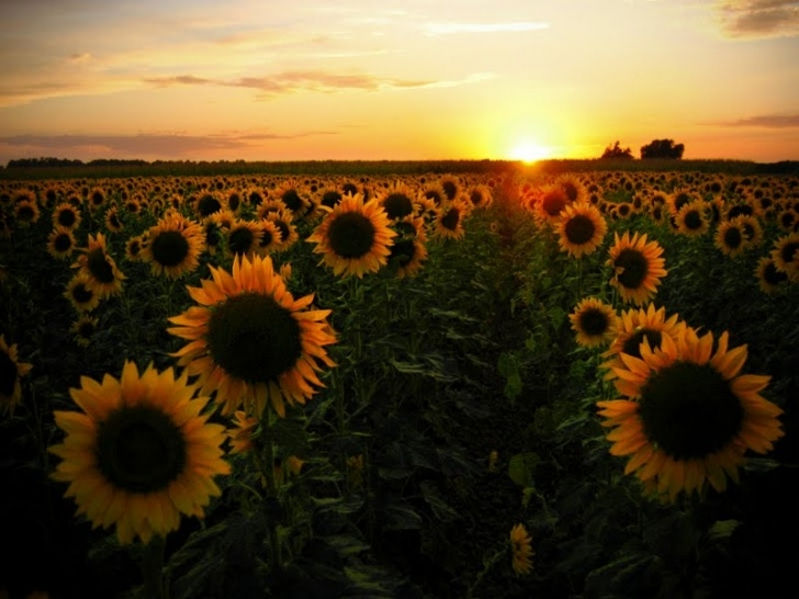 Amazing Ah Sunflower Poem Image766