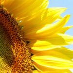 Amazing Ah Sunflower William Blake Photo763