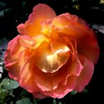 Amazing Long Live The Rose That Grew From Concrete Poem Pic881