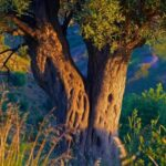 Amazing Olive Tree Poem Photo218
