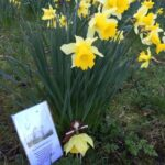 Amazing Poem About Daffodils Spring Photo899