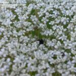 Amazing Queen Anne'S Lace Williams Photo241