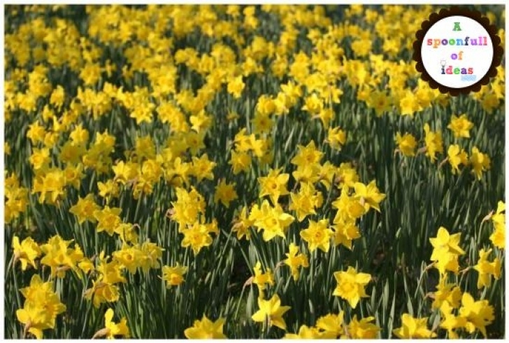 Amazing The Daffodils Full Poem Image031