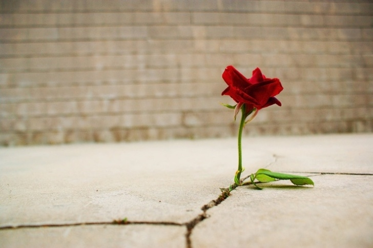 Awesome A Rose Growing In Concrete Picture324