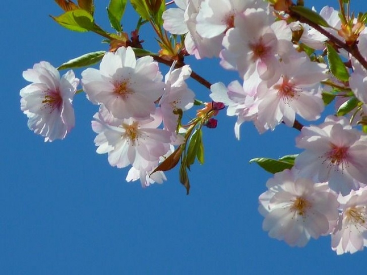 Awesome Cherry Blossom Love Poem Pic121