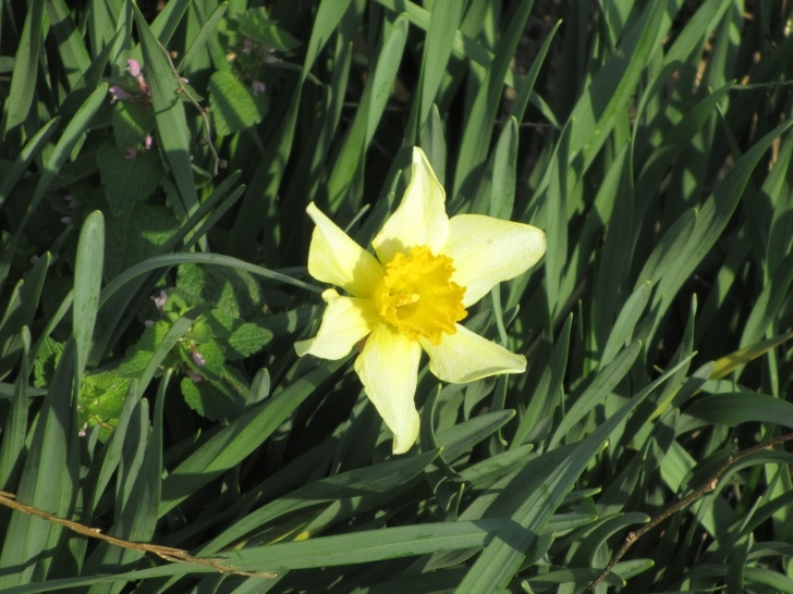 Awesome Daffodil Flower Poem Image603