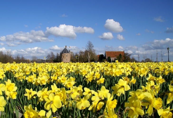 Awesome Field Of Daffodils Poem Photo704