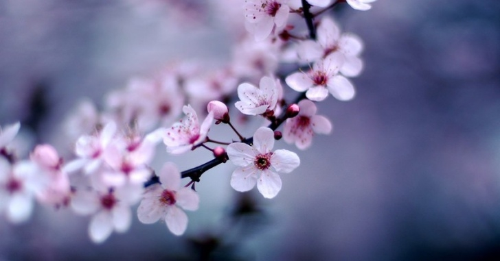 Awesome Haiku About Cherry Blossoms Pics658
