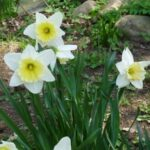 Awesome Robert Frost Daffodils Pics403