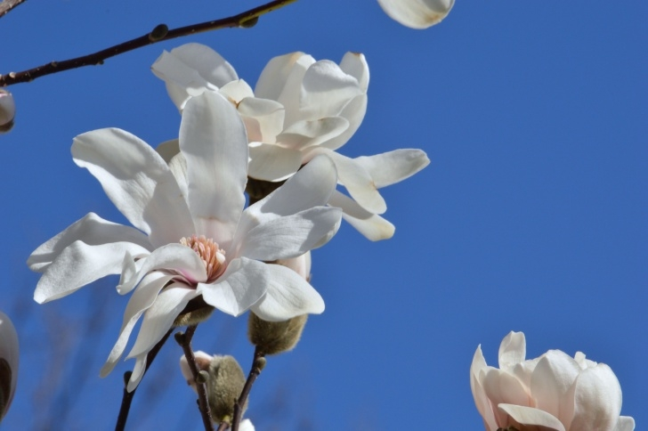 Awesome The White Magnolia Tree Poem Pic177