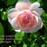 Best Beautiful Rose Poems Pic796