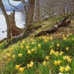 Best Daffodils Of Wordsworth Picture608