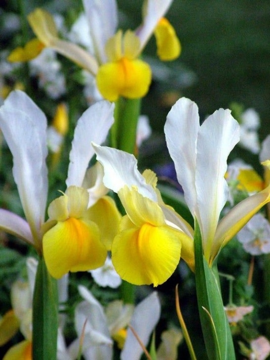 Best Ee Cummings Daffodils Picture174