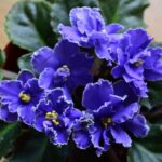 Best Flowers Are Red Violets Are Blue Image851