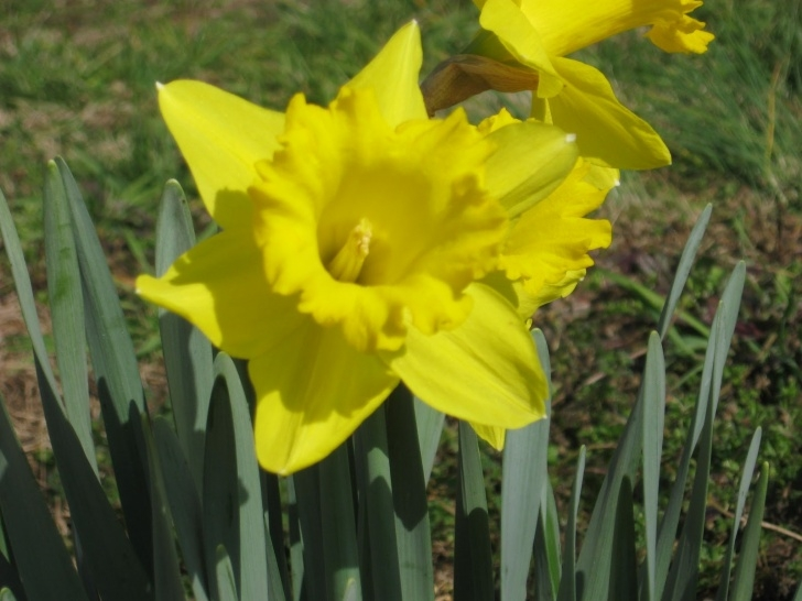 Best Poem On Daffodils In English Picture196
