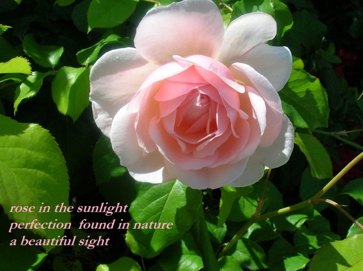 Best Poem On Rose Flower In English Pic588