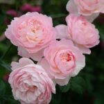 Best Poem On Rose Flower In English Picture500
