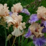 Best Poems About Irises Picture564