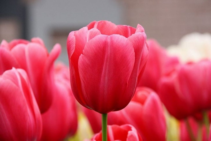 Best Tulip Poems By Famous Poets Photo301