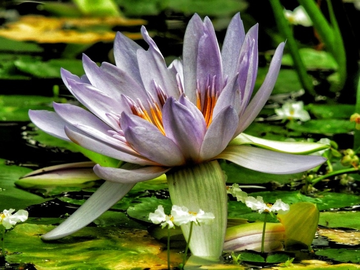 Best Water Lily Haiku Picture647