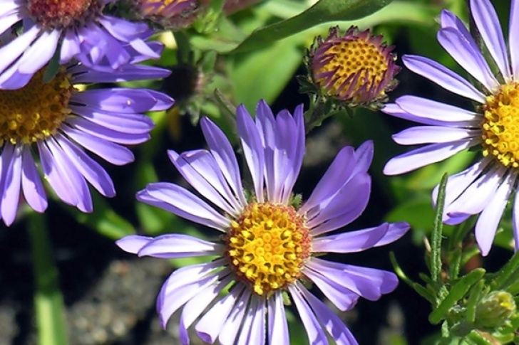 Best Wild Asters Poem Picture126