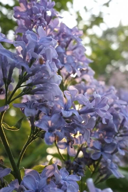 Creative Amy Lowell Lilacs Picture342