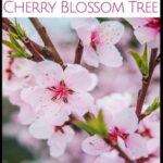 Creative Cherry Blossom Love Poem Picture125
