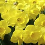 Creative English Poem Daffodils Picture192
