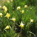 Creative Famous Poem About Daffodils Pic744