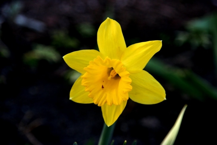 Creative Poem About Daffodils Spring Photo722