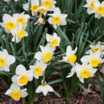 Creative To The Daffodils Picture208