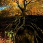 Famous Beech Tree Poem Image149