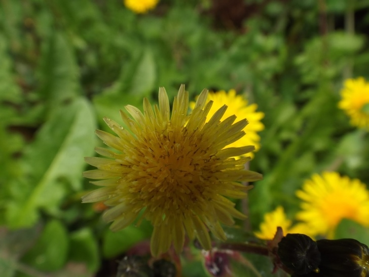 Famous Dandelion Poem Wordsworth Picture965