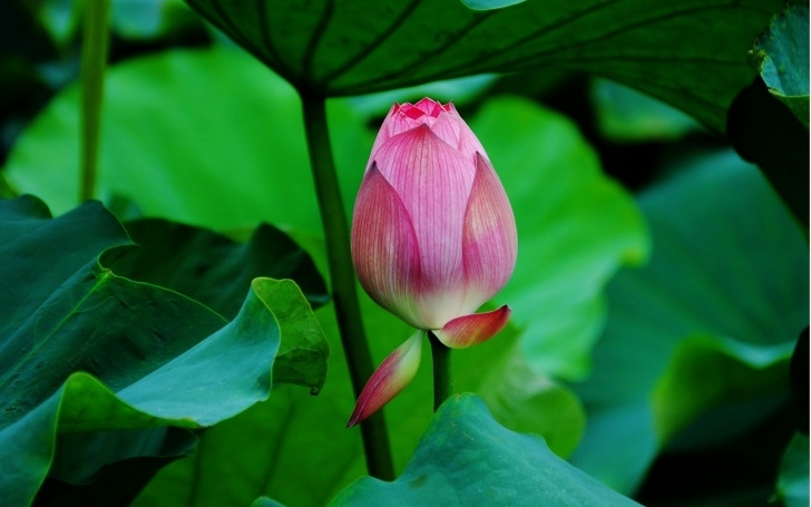 Famous Lotus Poem In English Pics725
