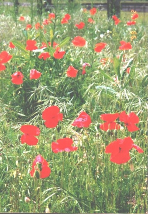 Famous Poem In Flanders Field The Poppies Grow Photo253