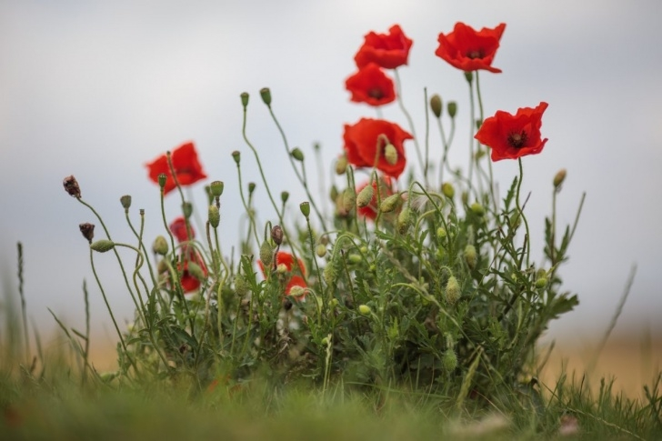 Famous Poem In Flanders Field The Poppies Grow Picture983