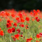 Famous Poppies Full Poem Photo305