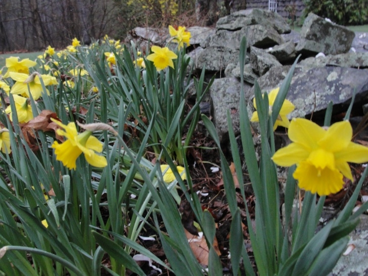 Famous To The Daffodils Pics014