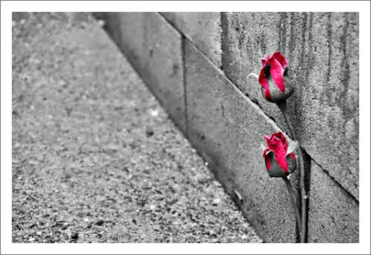 Fantastic A Rose Growing In Concrete Picture389