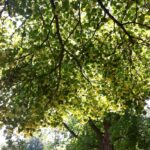 Fantastic Linden Tree Poem Image573