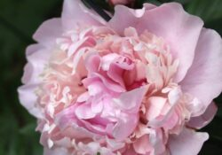 Fantastic Peony Poem By Mary Oliver Picture038