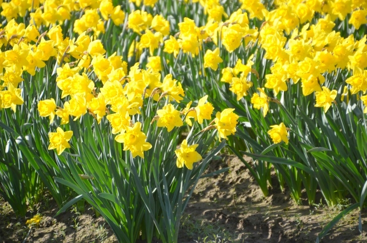 Fantastic The Golden Daffodils Poem Photo300