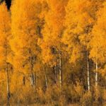 Gorgeous Aspen Tree Poem Pics467
