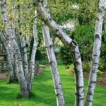 Gorgeous Aspen Tree Poem Picture293