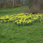 Gorgeous Daffodils By William Picture617