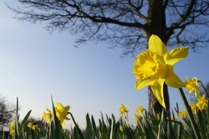 Gorgeous Daffodils Poem In English Image468