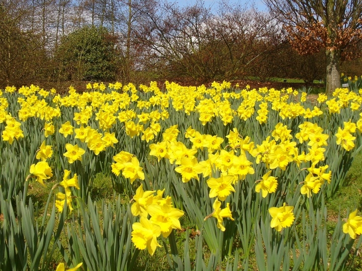 Gorgeous Field Of Daffodils Poem Pic860