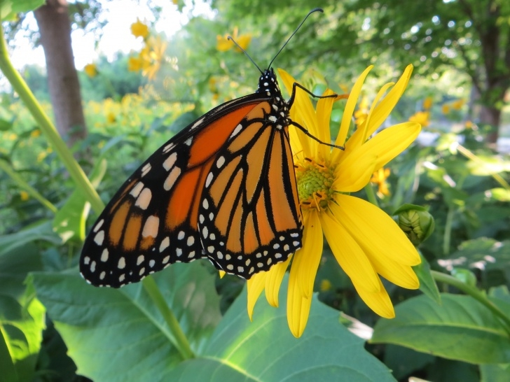 Gorgeous Milkweed And Monarch Poem Pics995