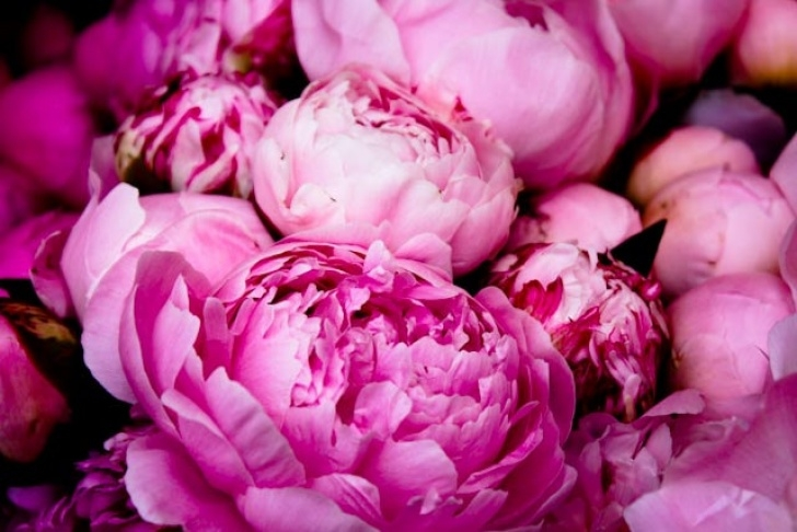 Gorgeous Peony Poem By Mary Oliver Photo315