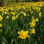 Gorgeous Robert Frost Daffodils Pic504